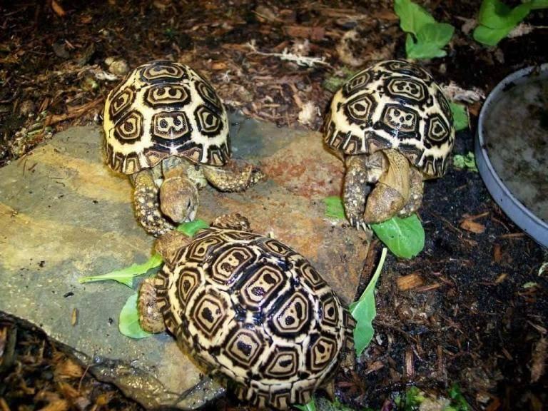 Леопардовая черепаха. описание леопардовой черепахи