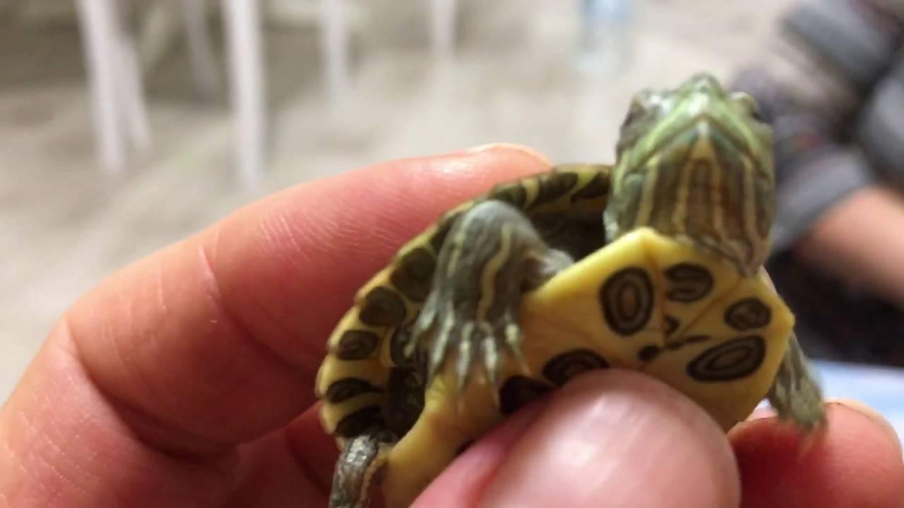 Как сделать укол домашней черепахе? - ростки жизни