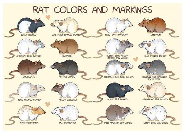 Разнообразие окрасов домашних хорьков