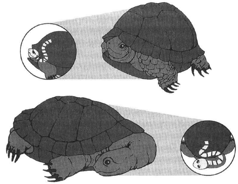 Эволюция черепах— заметки отеоретической физике