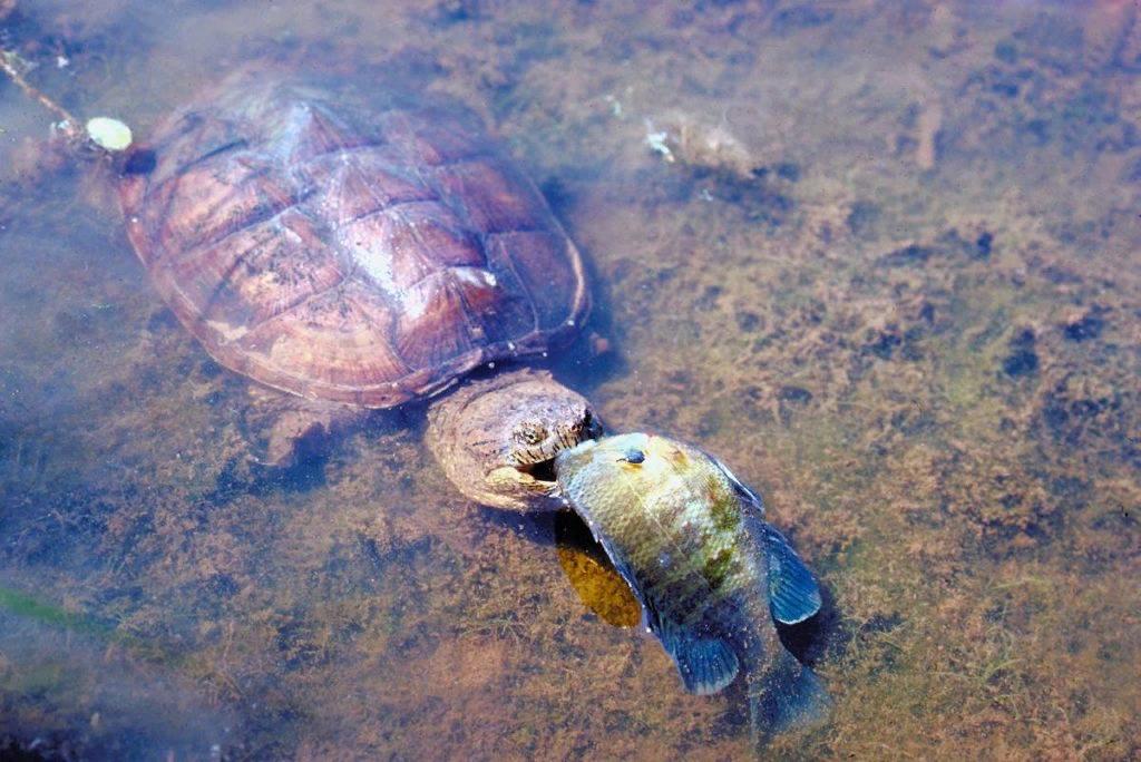 Укусы черепах в домашних условиях