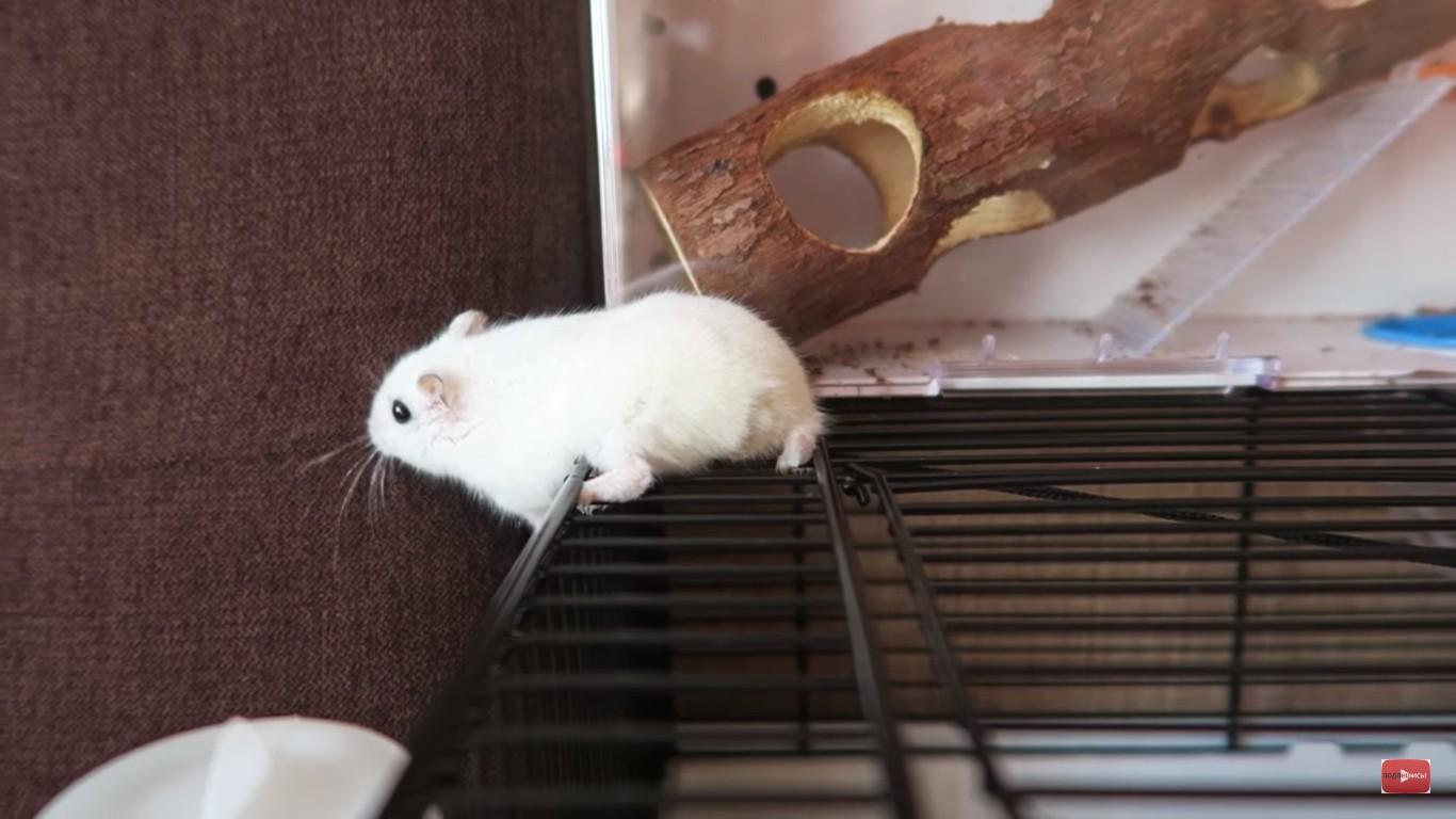 Что делать если хомяк сбежал из клетки? Как его найти?