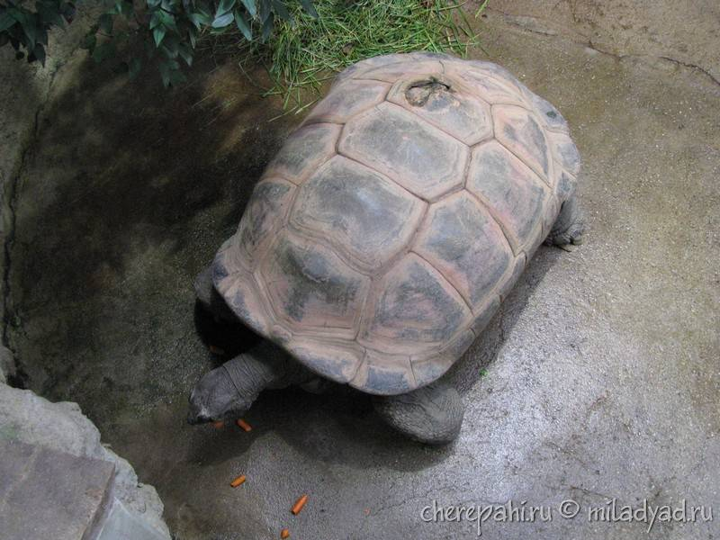 Тунисский черепаховый - tunisian tortoise - qwe.wiki