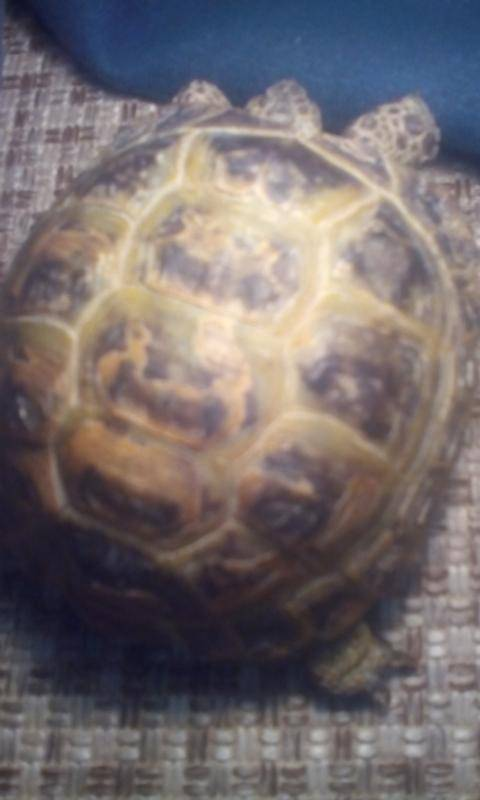 Мягкий панцирь у черепахи - что делать, как вылечить?