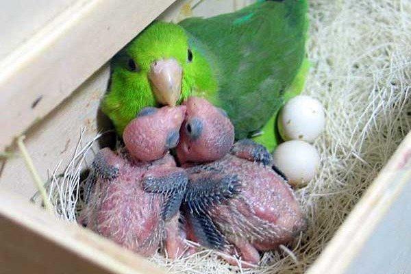 Чем кормить птенцов волнистых попугаев и как ухаживать