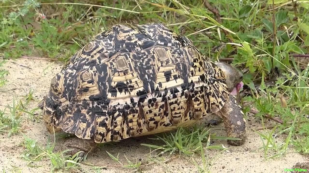 Леопардовая черепаха. леопардовая черепаха (geochelone pardalis). распространение и среда обитания