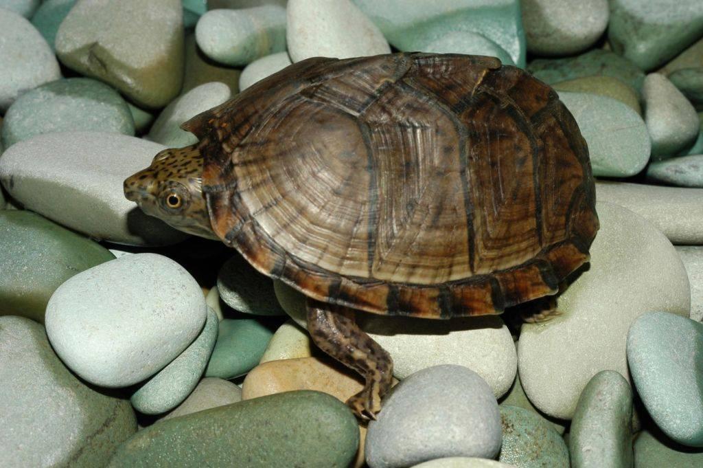 Мини черепашки для аквариума