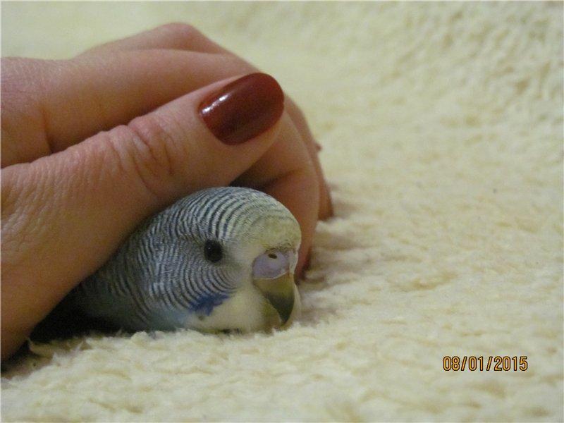 Самец или самочка: как правильно выбрать здорового волнистого попугая
