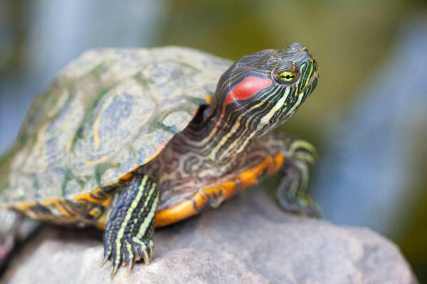 Как выбрать черепаху? - ветеринарная клиника vetstate