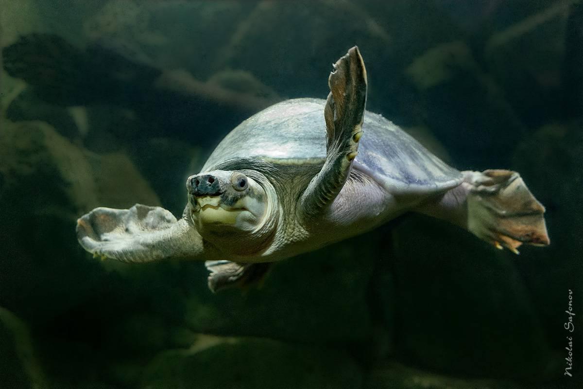 Carettochelys insculpta (двухкоготная, свинорылая черепаха)