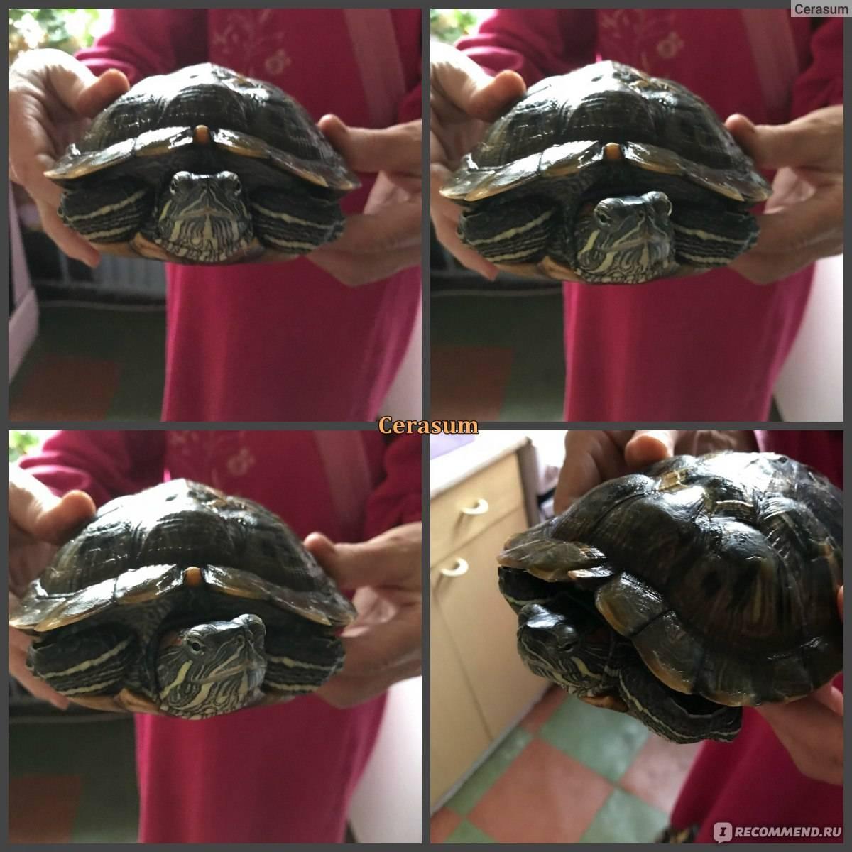 Как определить возраст красноухой черепахи