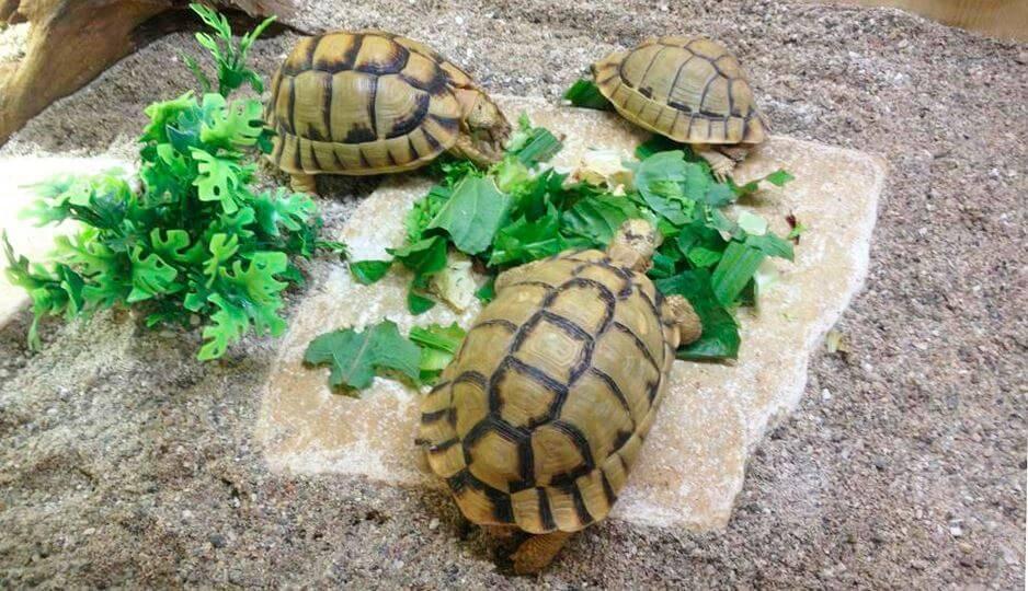 Египетская черепаха — википедия