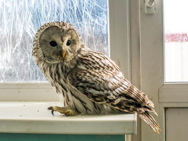 Можно ли завести дома сову?