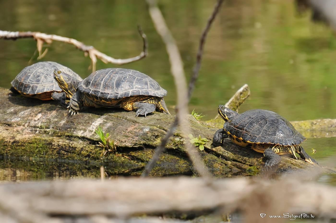 Сколько живут болотные черепахи