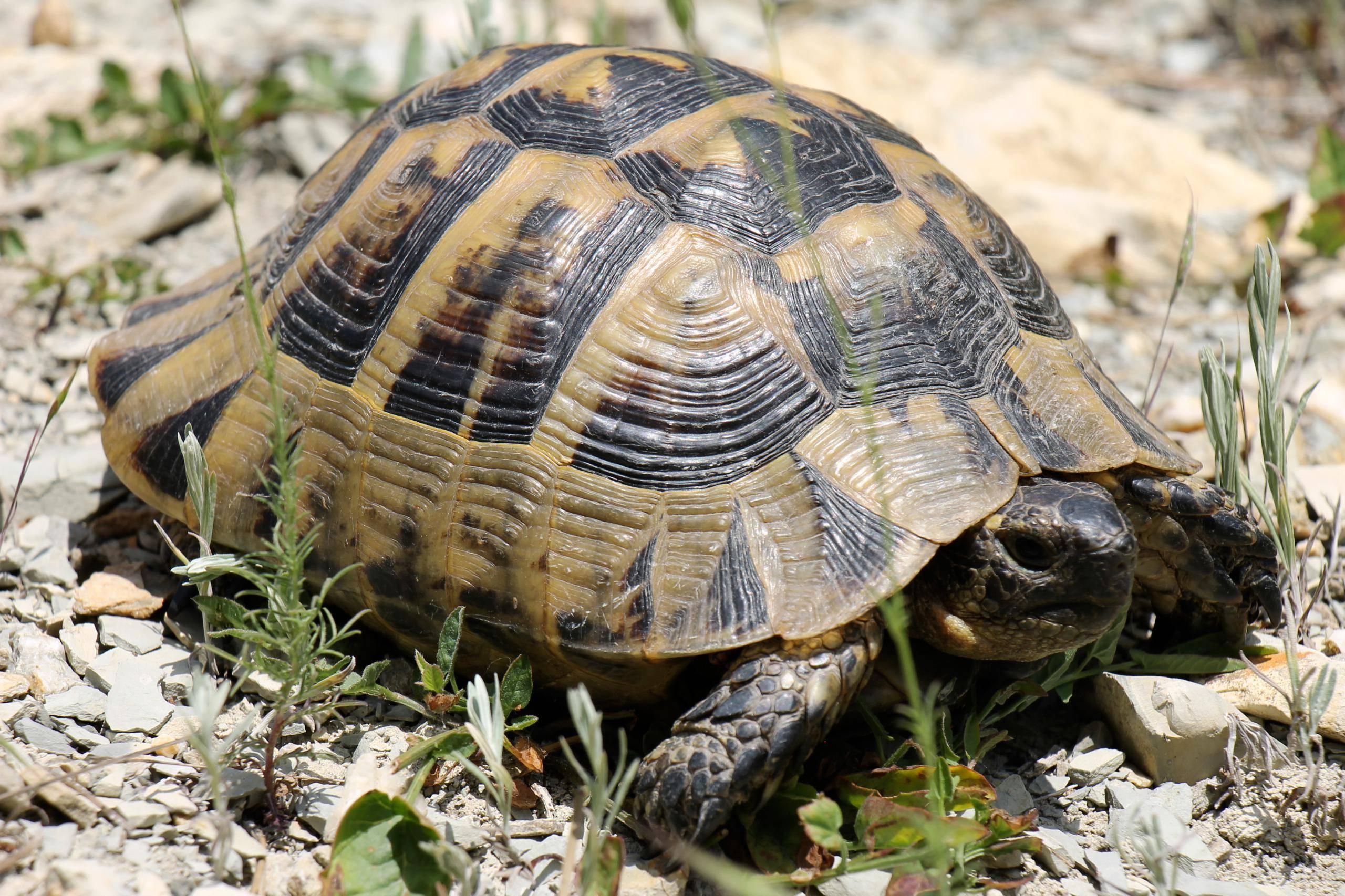 Средиземноморская черепаха • ru.knowledgr.com