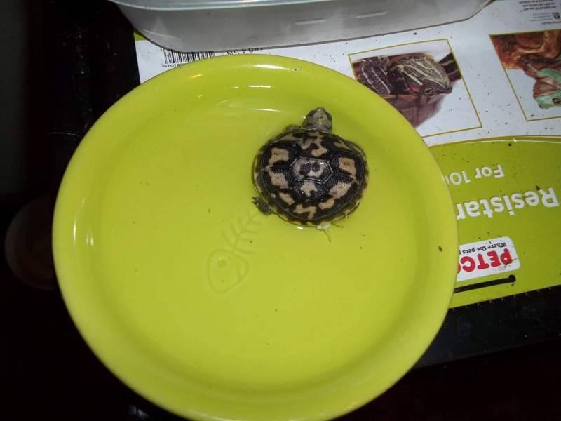 Эластичная черепаха википедия