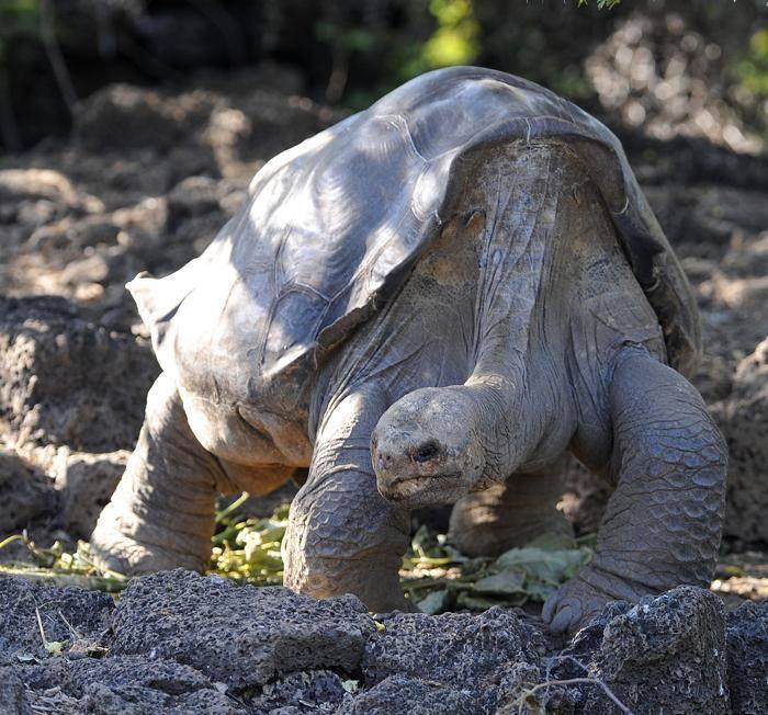 Слоновая черепаха, ее особенности и история — раскрываем суть