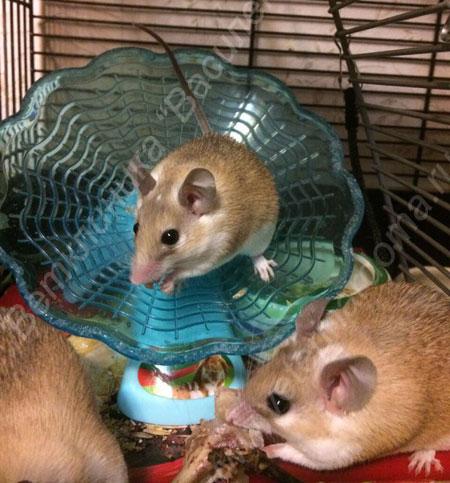Иглистая мышь