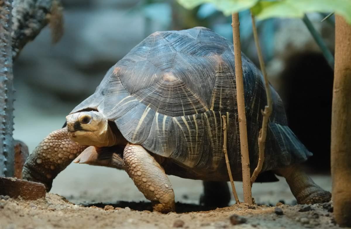 Лучистая черепаха — википедия (с комментариями)