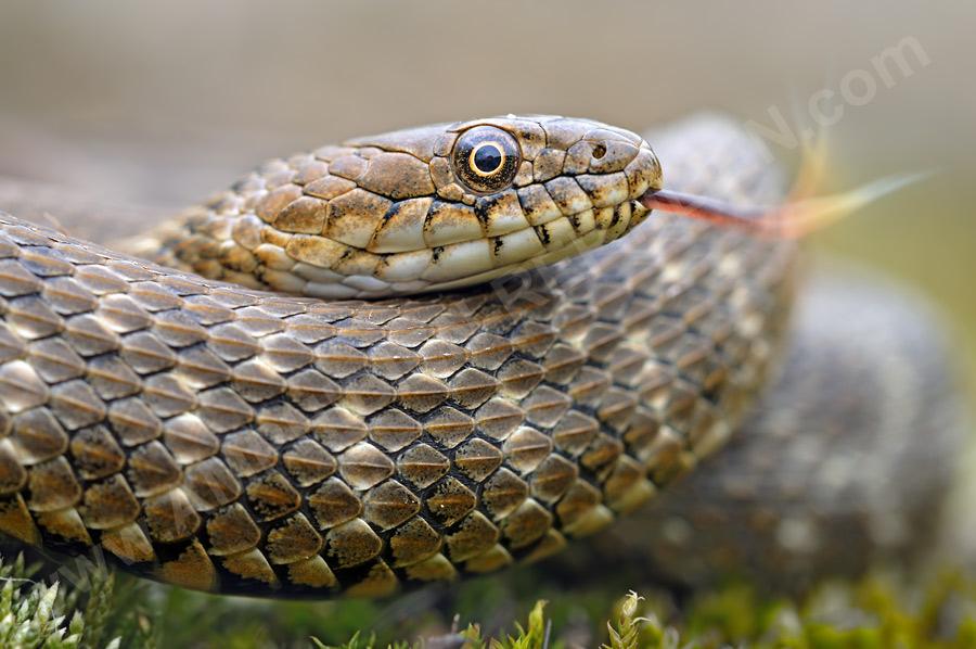 Водяной уж: особенности змеи