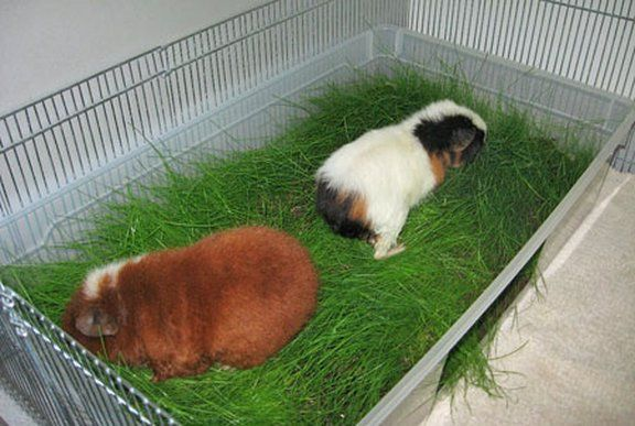 Морские свинки: размножение в домашних условиях