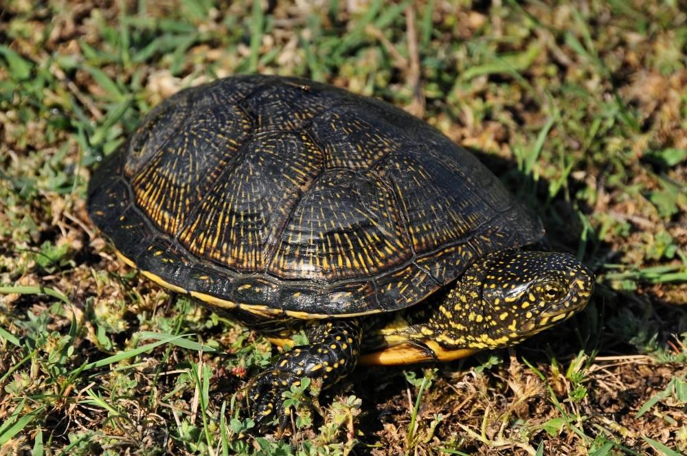 Европейская болотная черепаха - вики