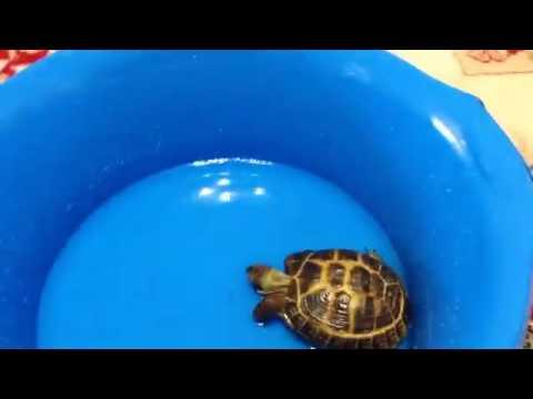 Как купать черепаху