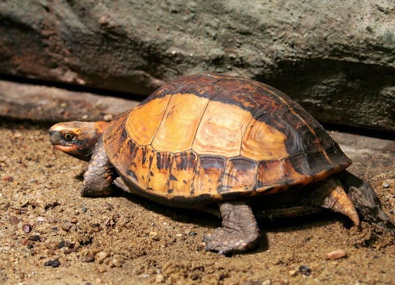 Коробчатая черепаха keeled • ru.knowledgr.com