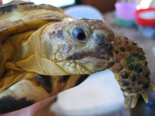 Как ухаживать за черепахой – купание и стрижка когтей ' рептилии '