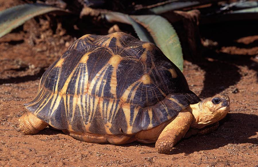 Излучаемая черепаха - radiated tortoise