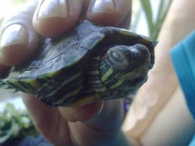 Спит ли зимой красноухая черепаха. как и когда водные красноухие черепахи впадают в спячку в домашних условиях