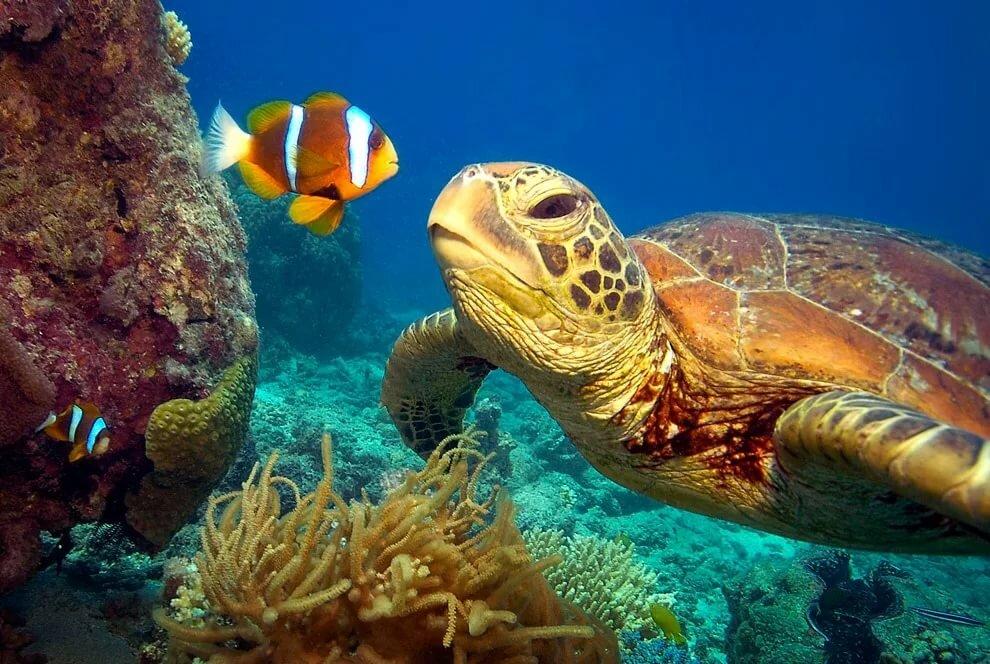 Морские черепахи википедия