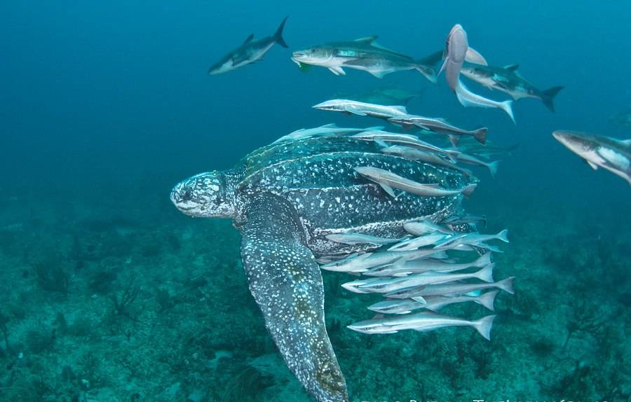 Leatherback морская черепаха - leatherback sea turtle - qwe.wiki