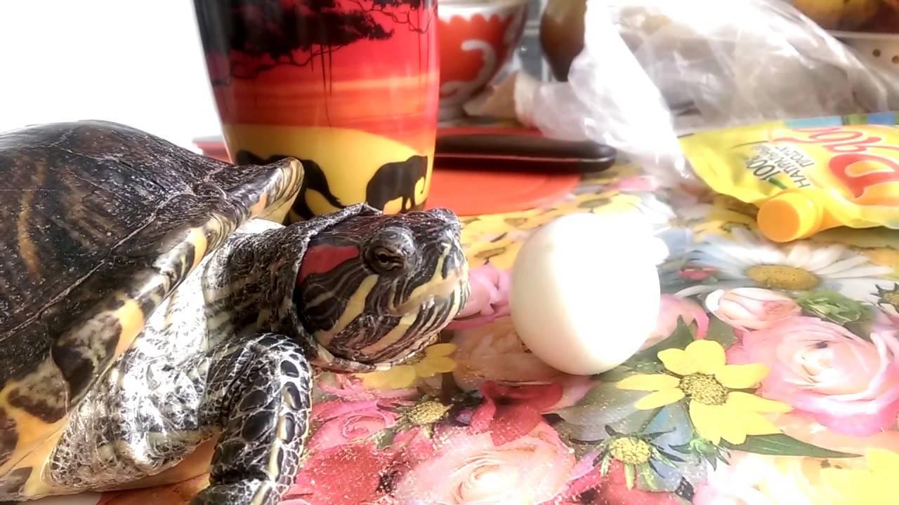 Как ускорить вылупление яйца черепахи в майнкрафт
