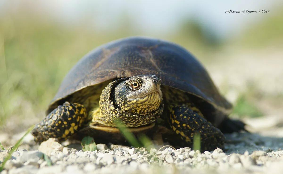 Европейская болотная черепаха википедия