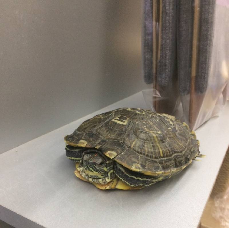 Мифы о содержании черепах дома: главные заблуждения хозяев