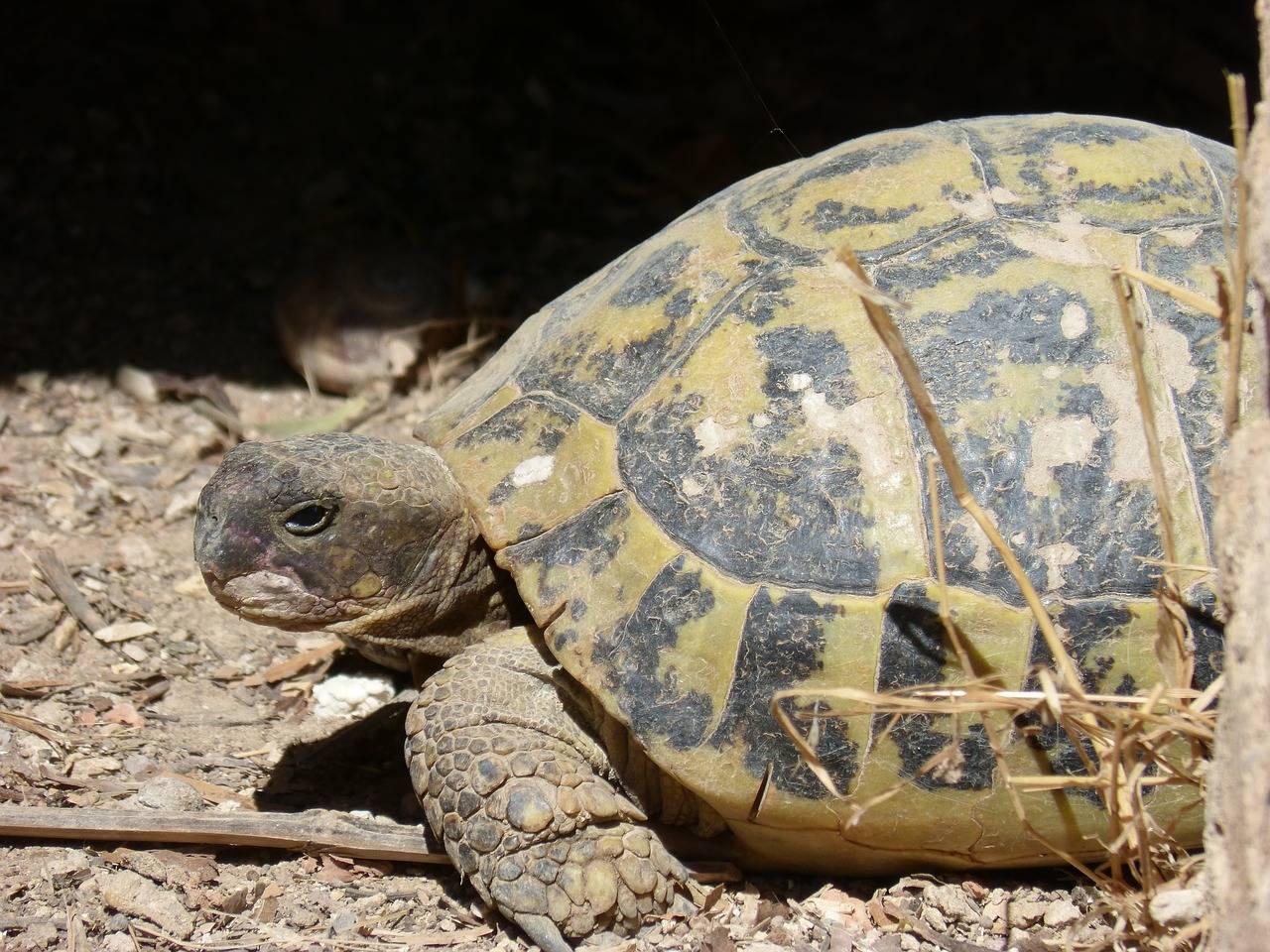 Средиземноморская черепаха — википедия. что такое средиземноморская черепаха