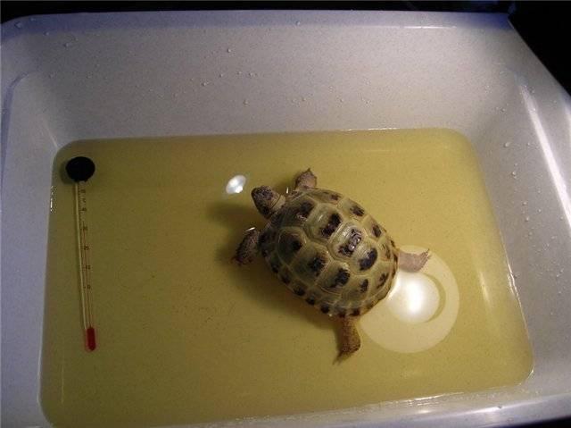 Приметы про черепах в доме - держать живую и не только