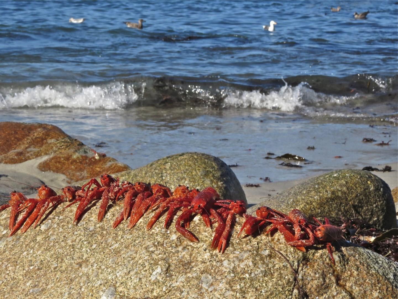 Крабы Черного моря