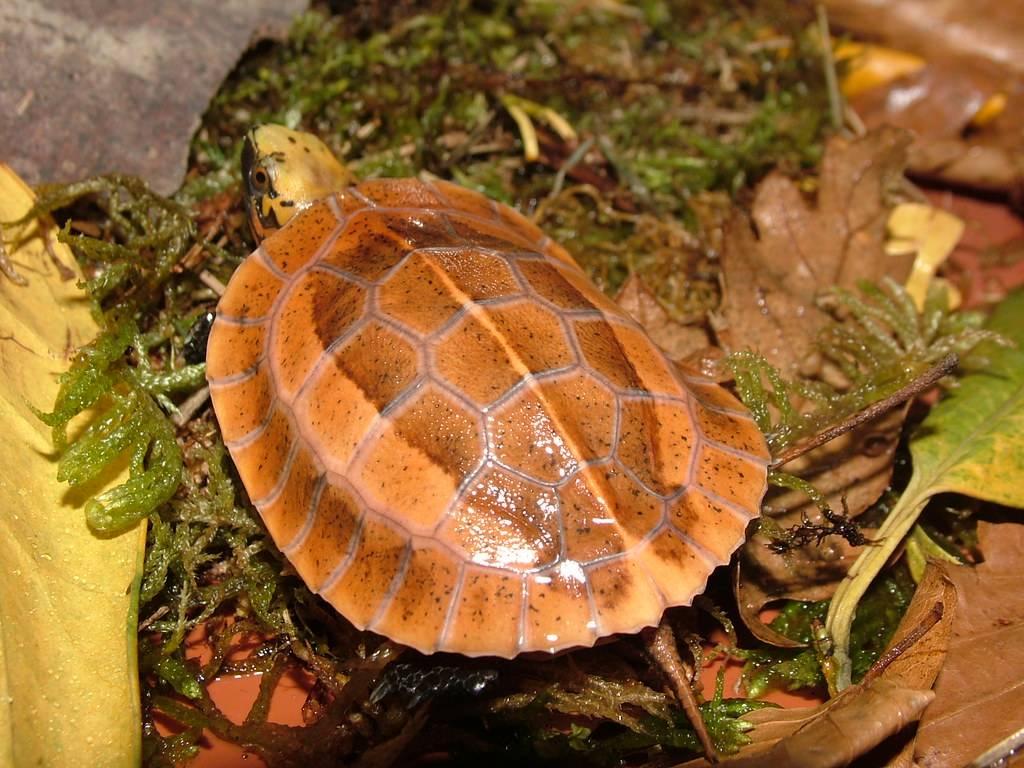 Amboina коробчатой черепахи - amboina box turtle