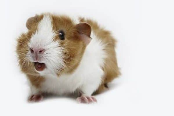Какие звуки издают морские свинки и их значение