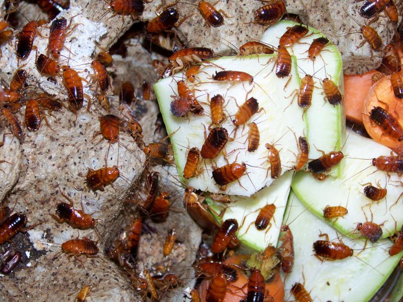 Туркменский таракан