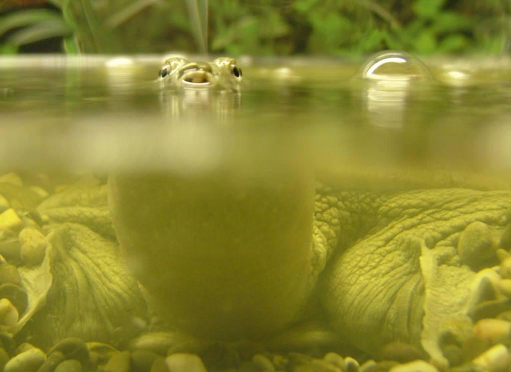 Черепаха китайский трионикс