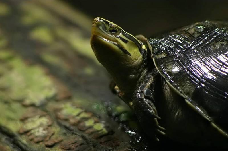 Cuora amboinensis (амбоинская черепаха) - черепахи.ру - все о черепахах и для черепах