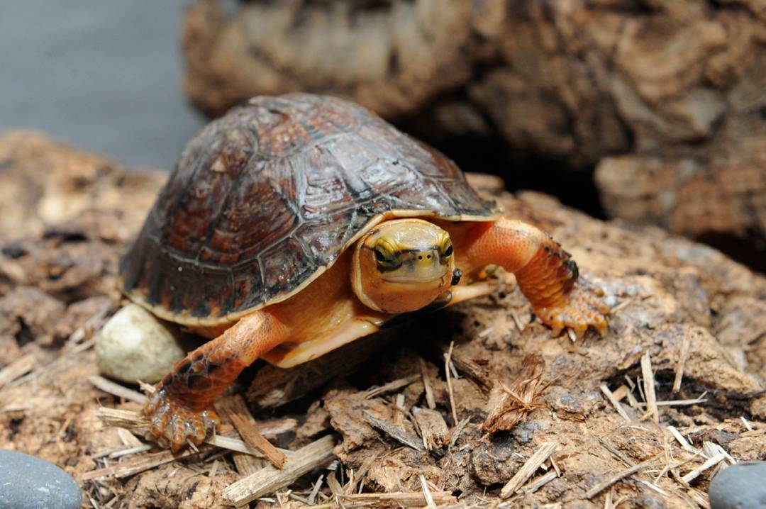 Азиатская коробчатая черепаха • ru.knowledgr.com
