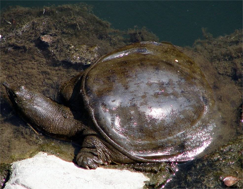 Мягкотелая дальневосточная черепаха трионикс и её содержание