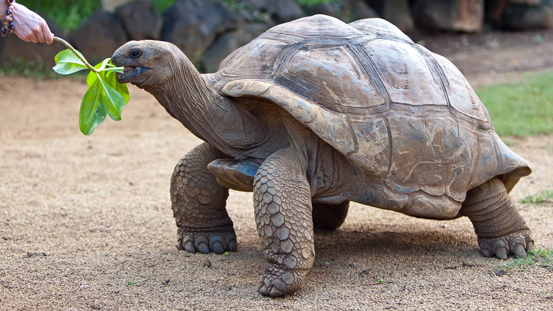 Слоновая черепаха — википедия. что такое слоновая черепаха