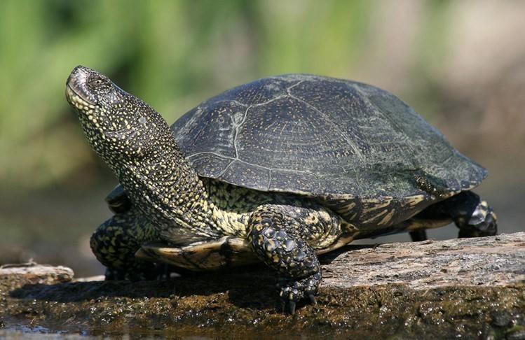 Европейская болотная черепаха — википедия
