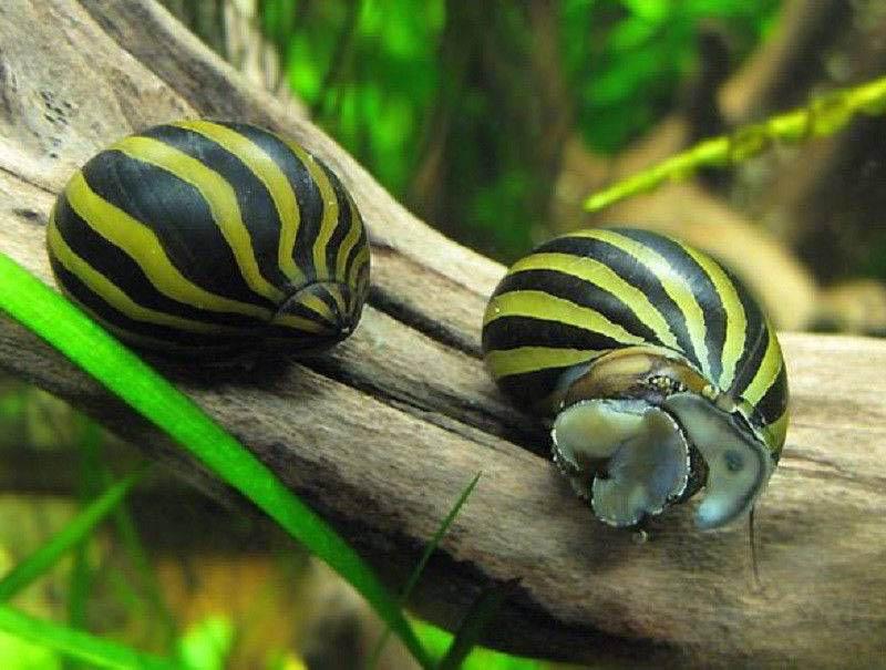 Улитка рогатая неритина, незаменимый моллюск в аквариуме