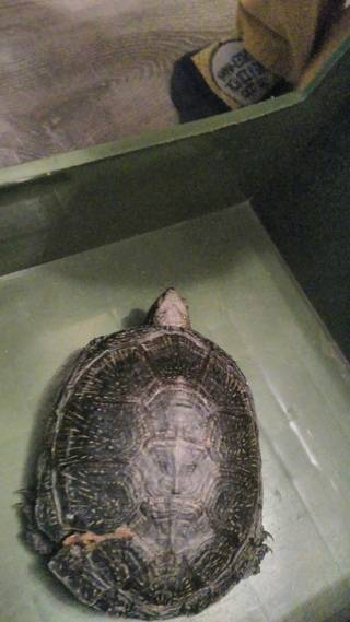 Расстройства обмена веществ из-за неправильного питания.. черепахи